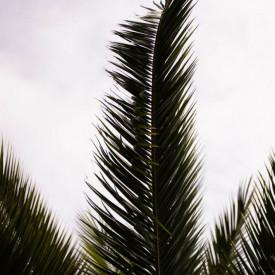 Poster, Frunză de palmier