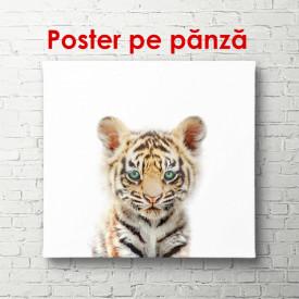 Poster, Pui de tigru pe un fundal alb
