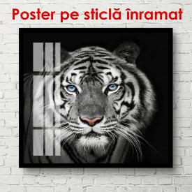 Poster, Tigru alb-negru pe fundal negru