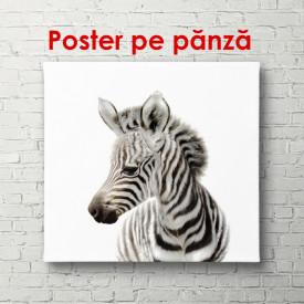 Poster, Zebra pe un fundal alb