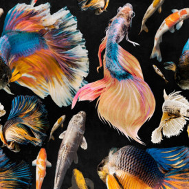 Fototapet, Pește albastru pe un fundal negru