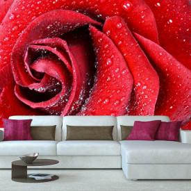 Fototapet, Un trandafir roșu și roua de dimineață