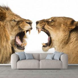 Fototapete, Leul și leoaica pe un fundal alb
