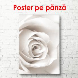 Poster, Trandafirul alb