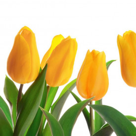 Fototapet Flori si Plante, Lalele galbene pe fond deschis 2