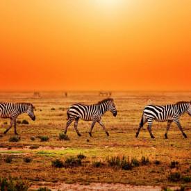 Fototapete, Zebrele pe fundalul apusului de soare