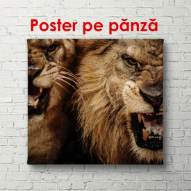 Leul și leoaica pe un fundal negru