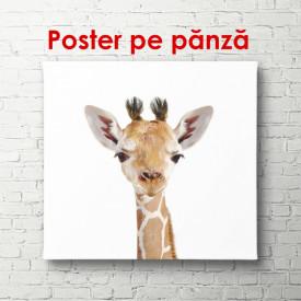Poster, Pui de girafă pe un fundal alb