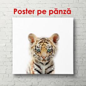 Poster, Tigru pe fundal alb