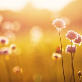 Fototapet, Câmp de flori la apus