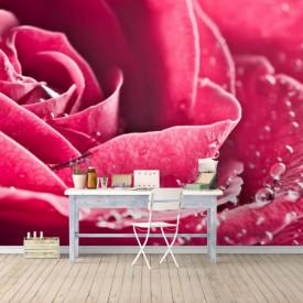 Fototapet, Un trandafir roz și picături de rouă