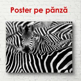 Poster, Zebre alb-negru