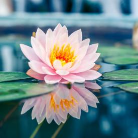 Fototapet, Crinul roz în apă