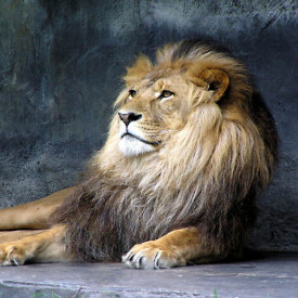 Fototapet, Leul pe stânca