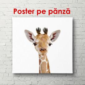 Poster, Girafa pe un fundal alb