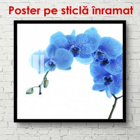 Poster, Orhideea albastră