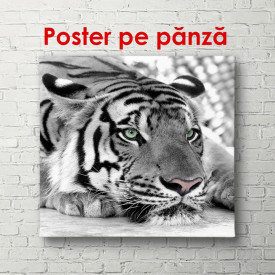 Poster, Tigrul cu nasul roz