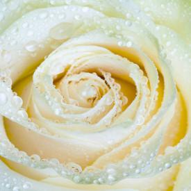 Tablou modular, Trandafirul alb
