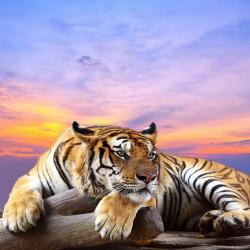 Fototapet, Tigru la apus de soare