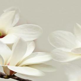 Fototapete, Floare albă de magnolie pe fond gri