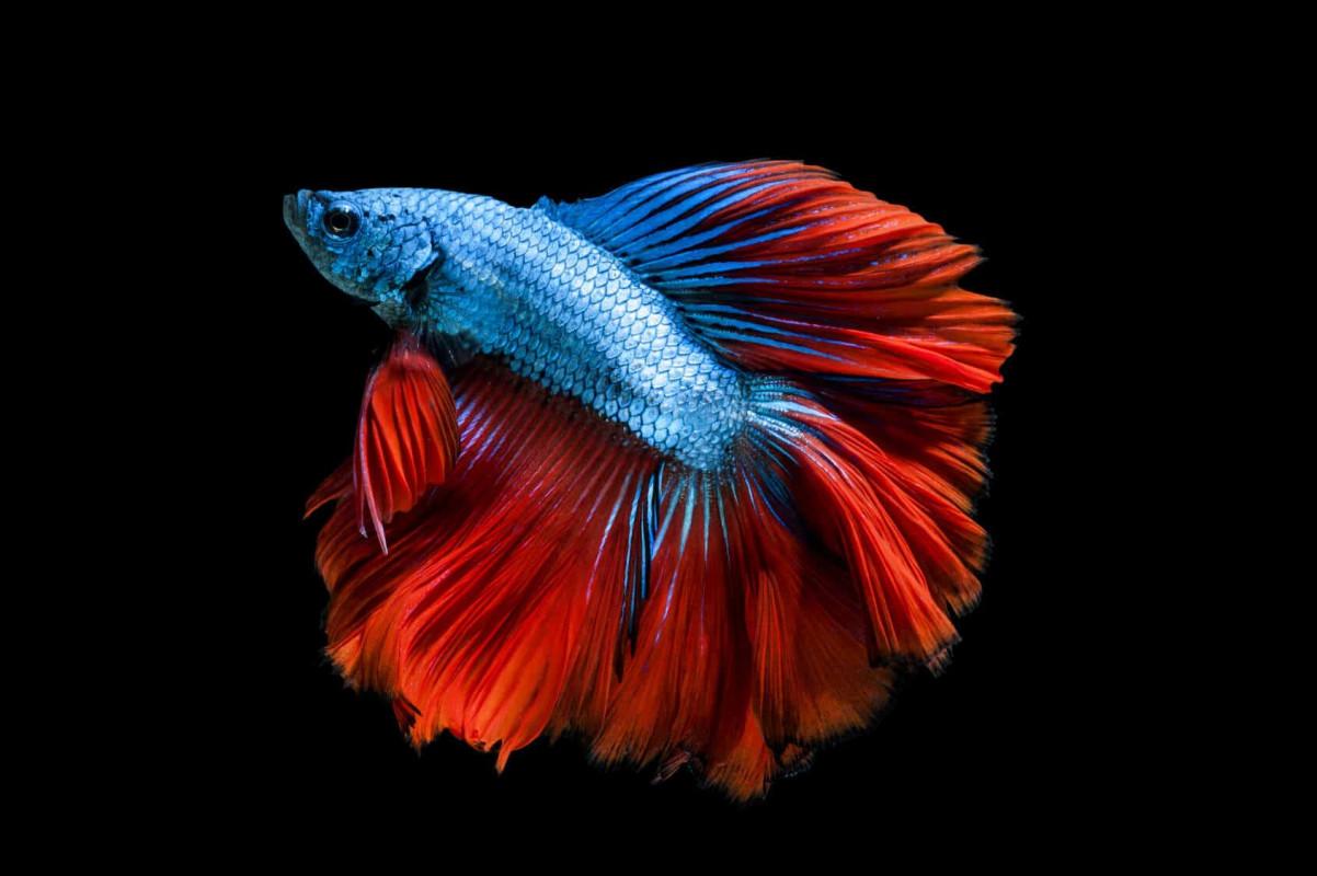 Ce specii de pesti se potrivesc pentru acvariile de dimensiuni mici?