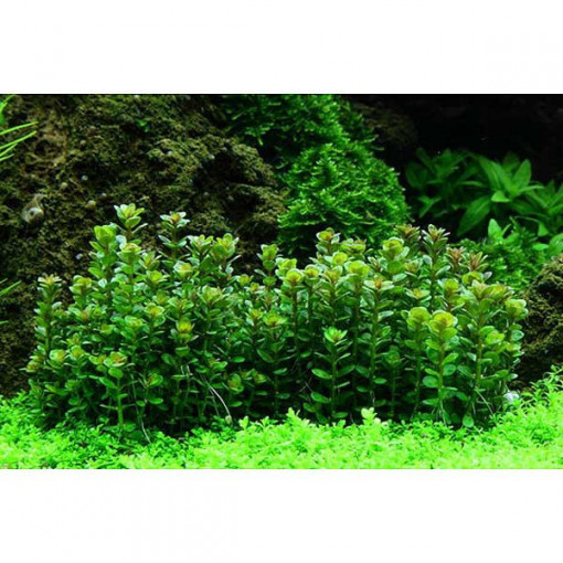 Planta acvariu Rotala 'Bonsai'