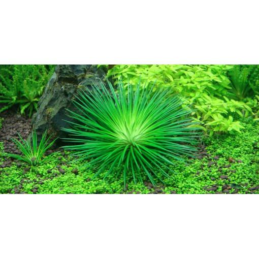Planta acvariu Eriocaulon cinereum - In-Vitro