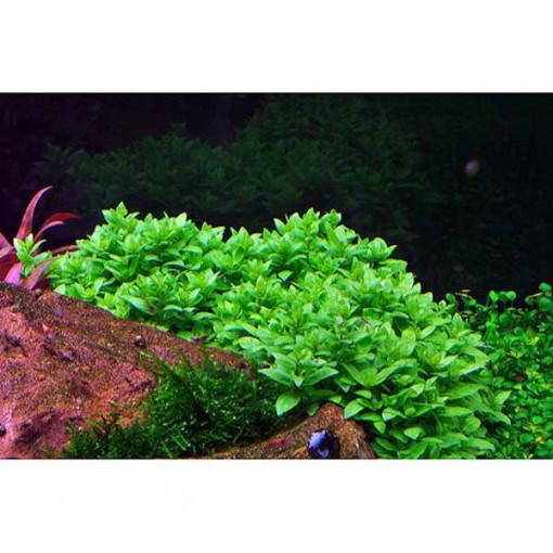 Planta acvariu Staurogyne repens in vitro Tropica
