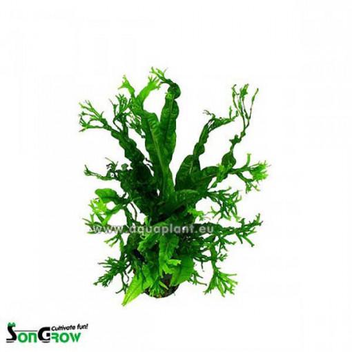 Planta naturala acvariu Microsorum Windelow (frunze crocante)
