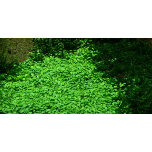 Planta acvariu Glossostigma elatinoides vitro Tropica