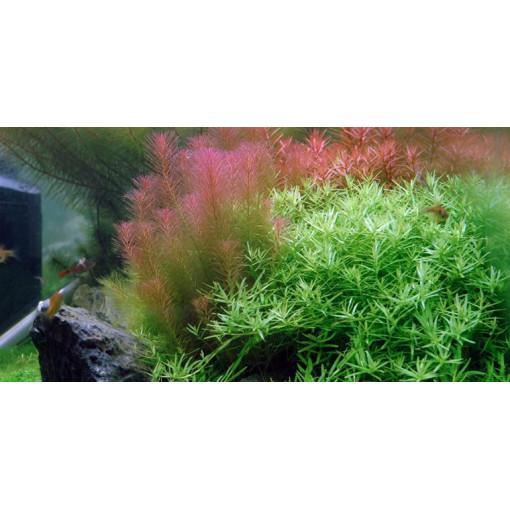 Planta acvariu Rotala wallichii