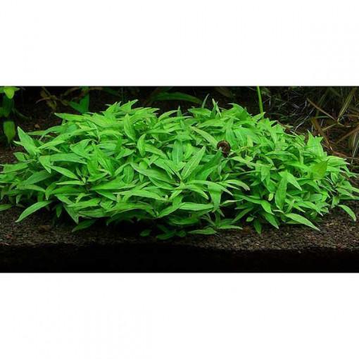 Planta naturala acvariu Staurogyne Porto Vehlo
