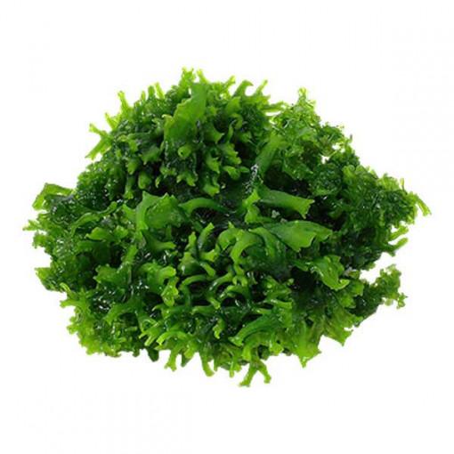 Planta acvariu Monosolenium tenerum in vitro Tropica