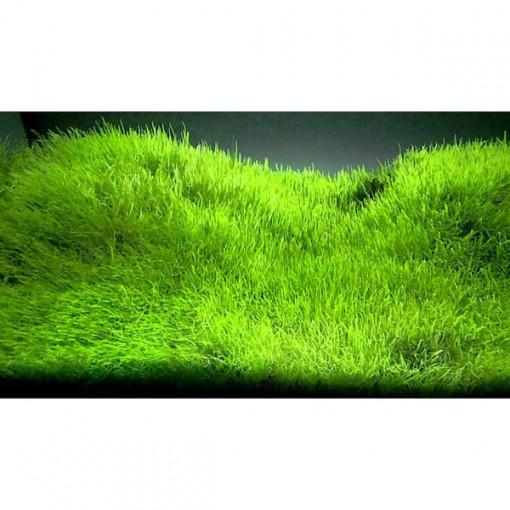 Planta acvariu Utricularia graminifolia In-Vitro