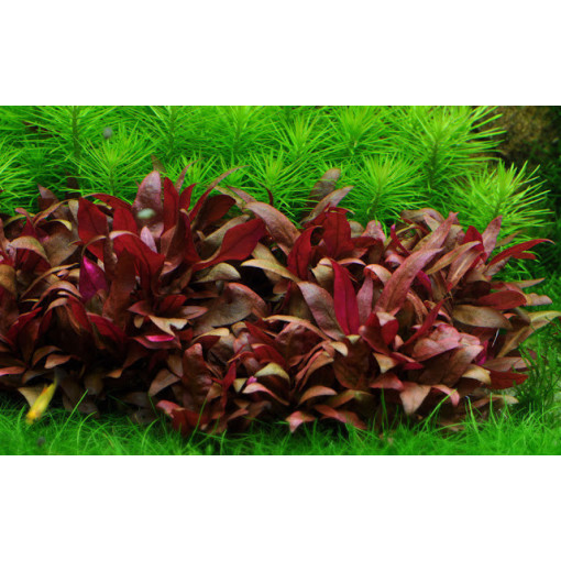 Planta naturala acvariu Althernantera Cardinalis
