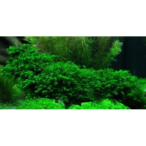 Planta acvariu Fissidens fontanus