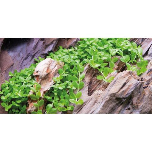 Planta acvariu Micranthemum 'Monte Carlo' vitro
