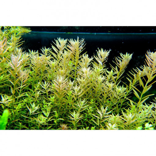 Planta naturala acvariu Rotala Rotundifolia Pot Tropica