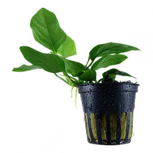 Planta acvariu Anubias barteri var. nana Pot Tropica