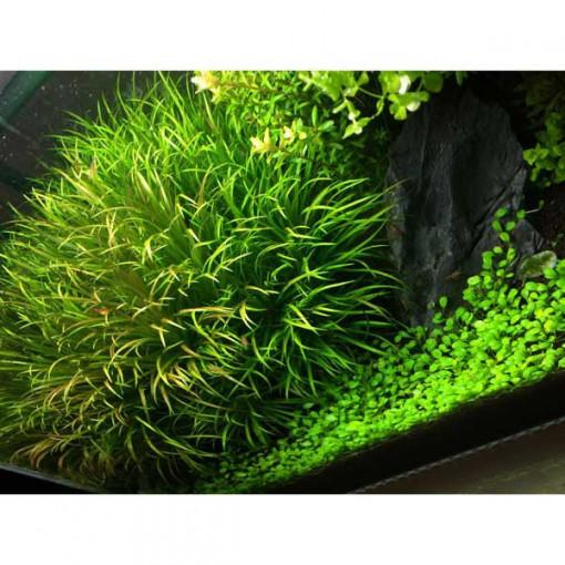 Planta acvariu Blyxa Japonica in vitro Tropica