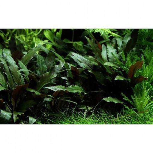 Planta acvariu Cryptocoryne beckettii 'Petchii Pot Tropica