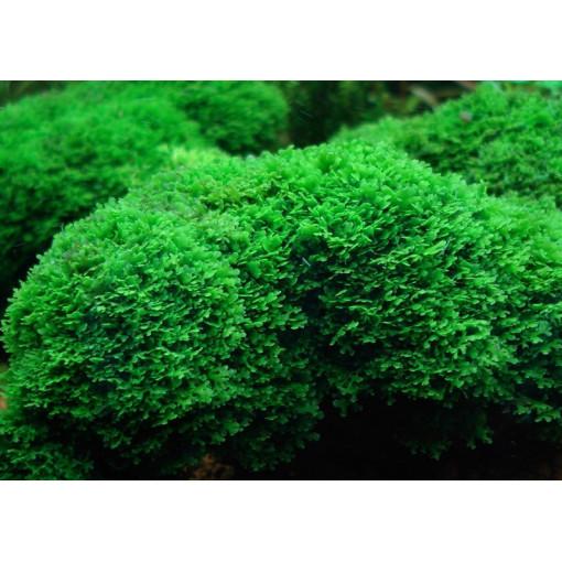 Planta acvariu Riccardia chamedryfolia - portie
