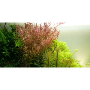 Planta acvariu Althernatera reinickii pink pot