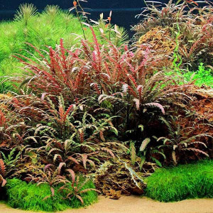 Planta acvariu Hygrophila pinnatifida In Vitro Tropica