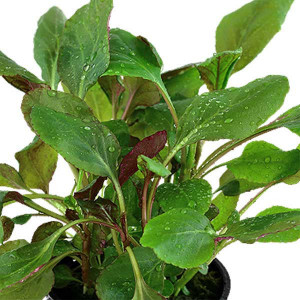 Planta acvariu Lobelia Cardinalis Tropica