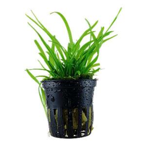 Planta acvariu Sagittaria subulata pot Tropica