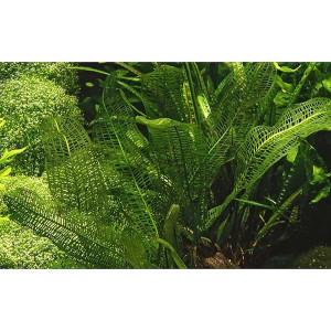Planta acvariu Aponogeton madagascariensis In Vitro Tropica Editie Limitata