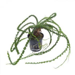 Planta acvariu - Crinum Calamistratum Tropica
