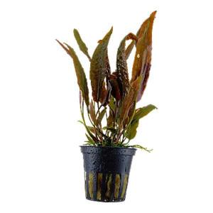 Planta acvariu Cryptocoryne usteriana pot Tropica
