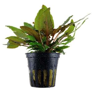 Planta acvariu Cryptocoryne wendtii 'Brown
